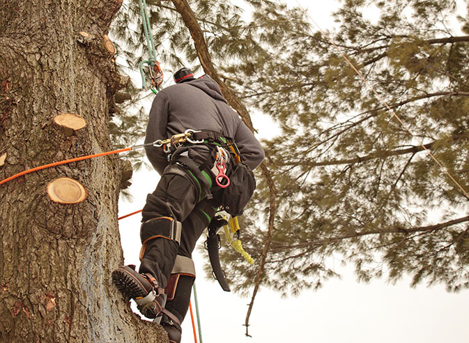 Cooke's Tree Service employee trimming a tree