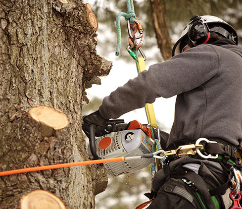 Cooke's Tree Service employee cutting a tree down